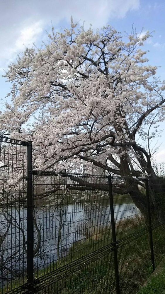 西和不動産本社前桜の木